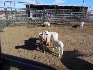 Sheep? again